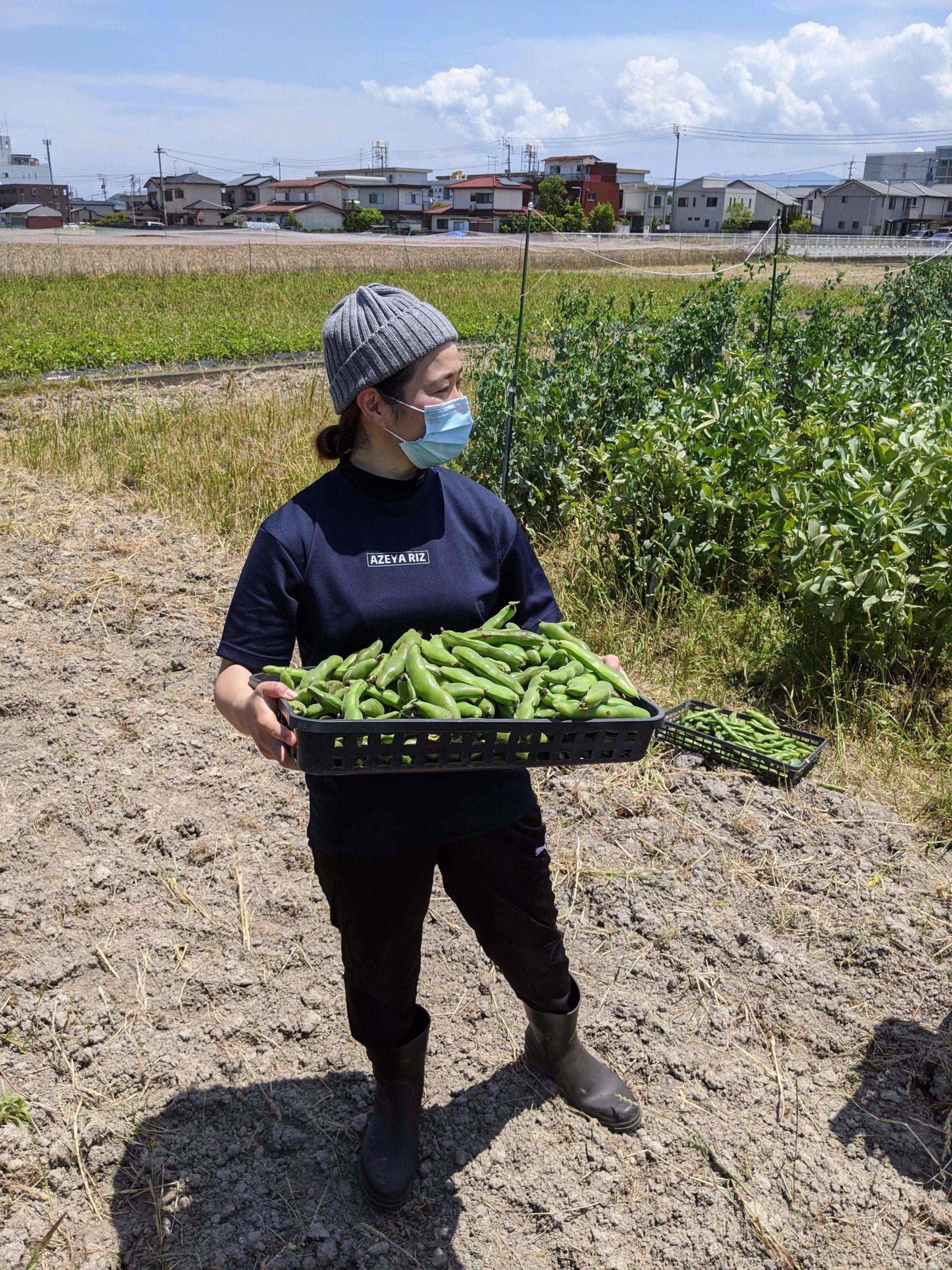 ソラ豆の収穫〜活動再開に向けて〜